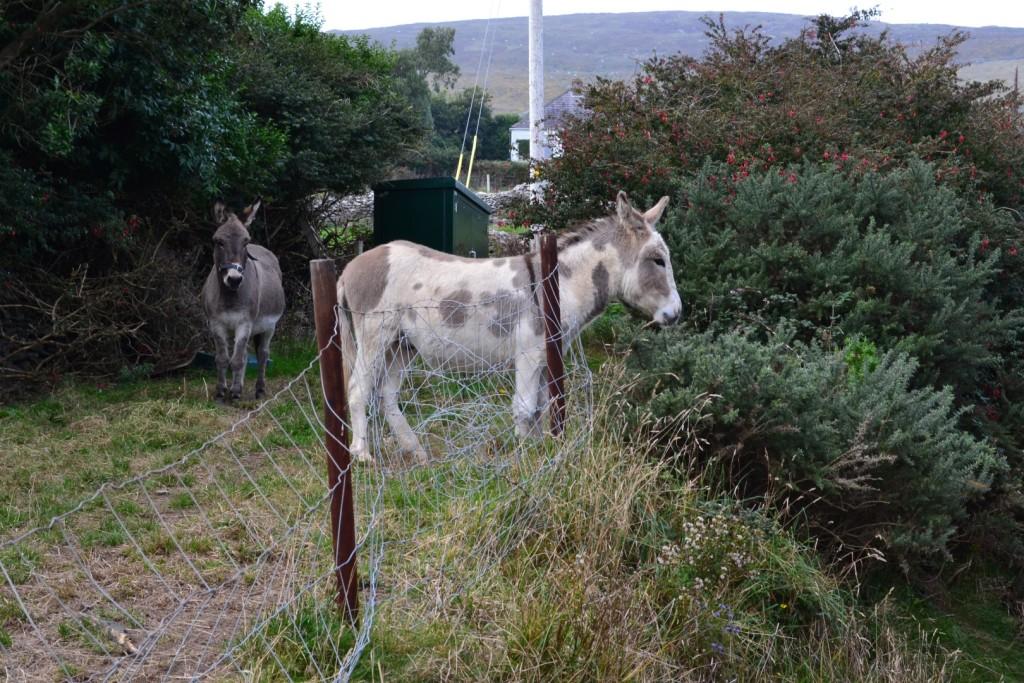 Dingle Peninsula Loop Donkeys during 1 week in ireland