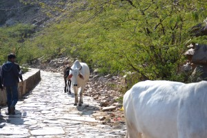 Walking with the locals, cows and monkeys to the temple